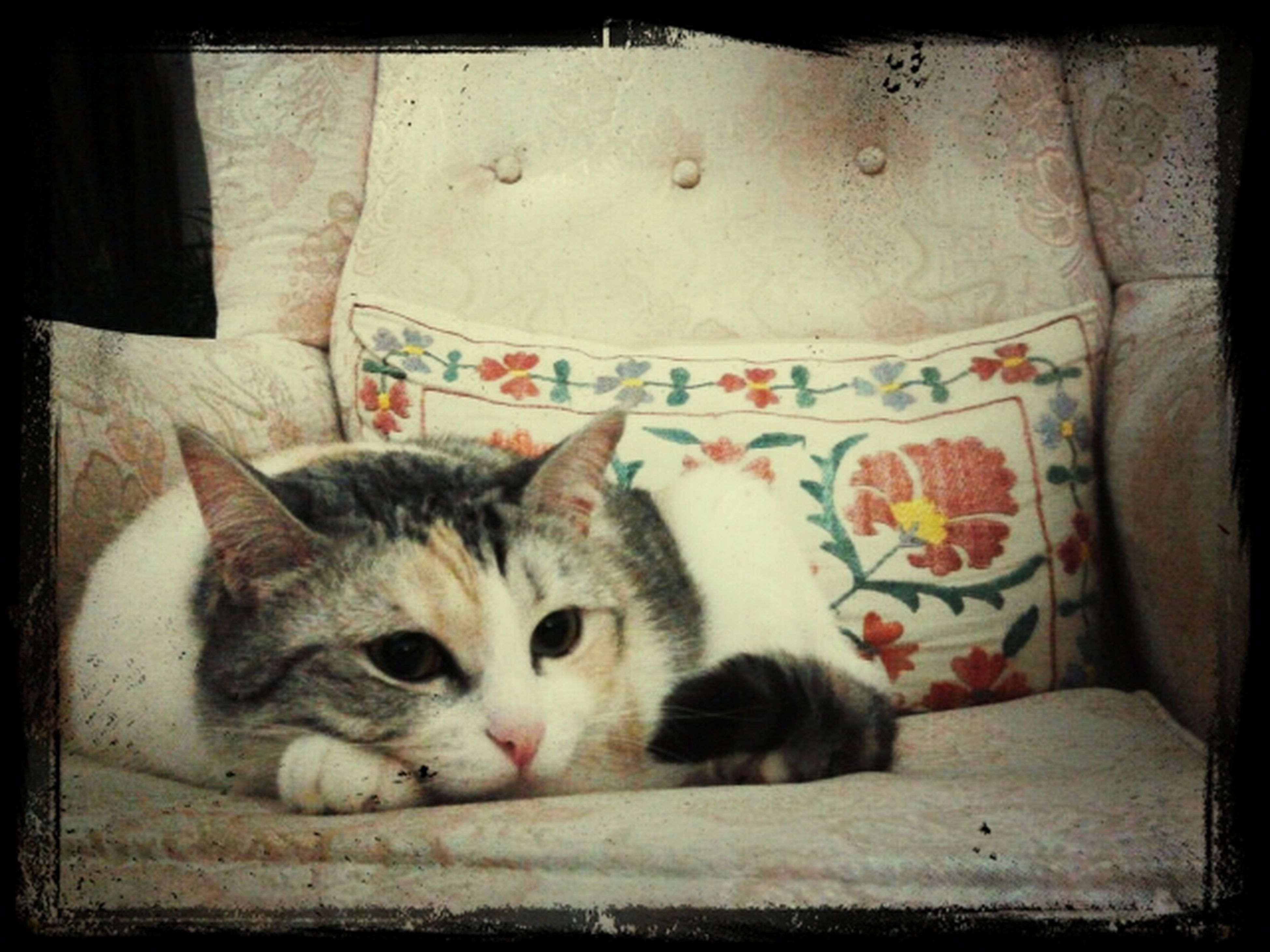 domestic cat, pets, domestic animals, cat, animal themes, indoors, one animal, mammal, feline, transfer print, portrait, looking at camera, relaxation, auto post production filter, whisker, lying down, resting, home interior, close-up, cute