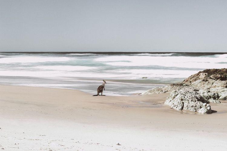 Beach EyeEmNewHere Kangaroo Australia Stradbroke Island Sea Water Sand Horizon Over Water Beauty In Nature Nature Scenics Tranquility Outdoors Wave Wildlife Wildlife Photography Wildlife & Nature EyeEmNewHere TheWeekOnEyeEM The Week On EyeEm Kangourou