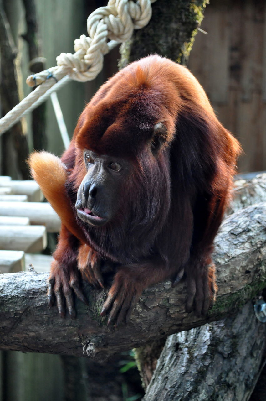Howler Monkey Sitting On Tree Trunk At Zoo
