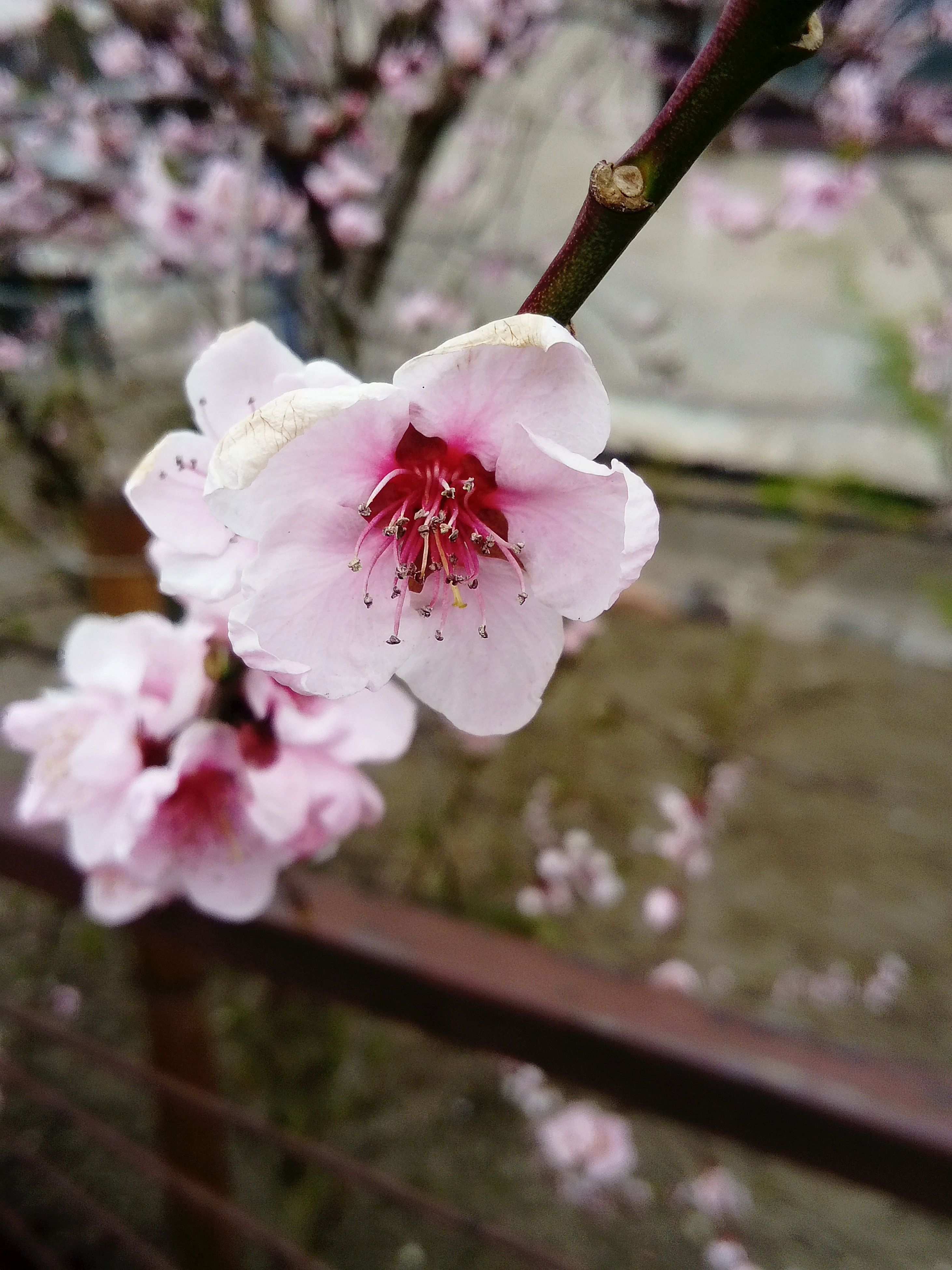 flower, nature, growth, close-up, beauty in nature, no people, pink color, fragility, plant, blossom, branch, tree, outdoors, freshness, flower head, almond tree, day, plum blossom, sky
