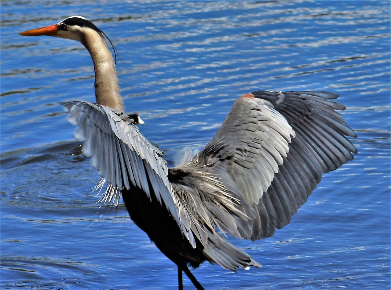 Gray Heron With Spread Wings Over Lake