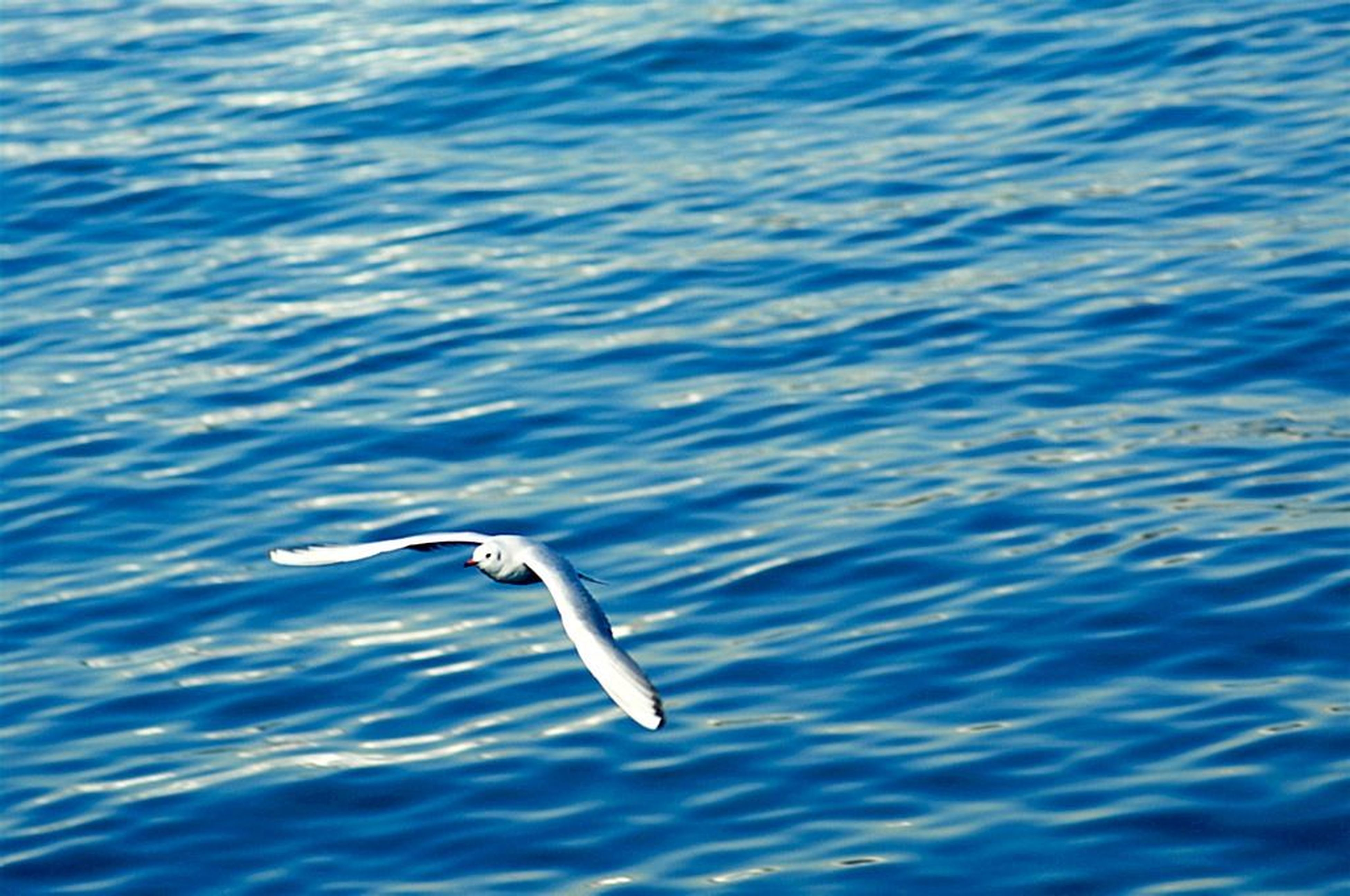 animal themes, animals in the wild, wildlife, bird, one animal, water, flying, spread wings, seagull, sea, nature, blue, waterfront, mid-air, rippled, beauty in nature, motion, outdoors, no people, day