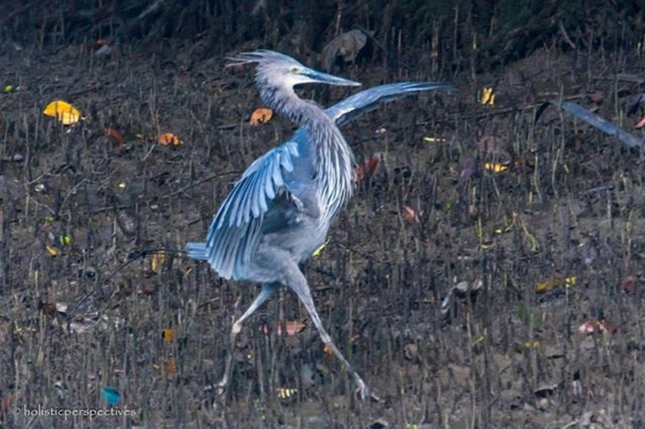 Let's dance! Purple Heron, sungei buloh. Sungeibulohwetlandreserve Sungeibuloh Purpleheron Birds Birdsofinstagram Ig_birdwatchers