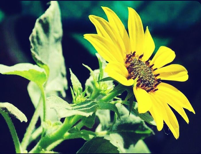 Flower Petal Fragility Yellow Plant Close-up Flower Head Nature Beauty In Nature Green Color No People Sunflower Outdoors Summer Freshness Growth Day Black-eyed Susan