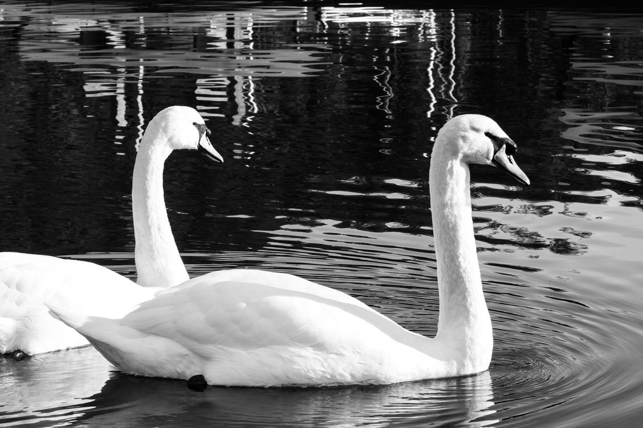 animal themes, animals in the wild, lake, bird, water, swan, swimming, animal wildlife, water bird, nature, no people, day, waterfront, outdoors, beauty in nature, close-up