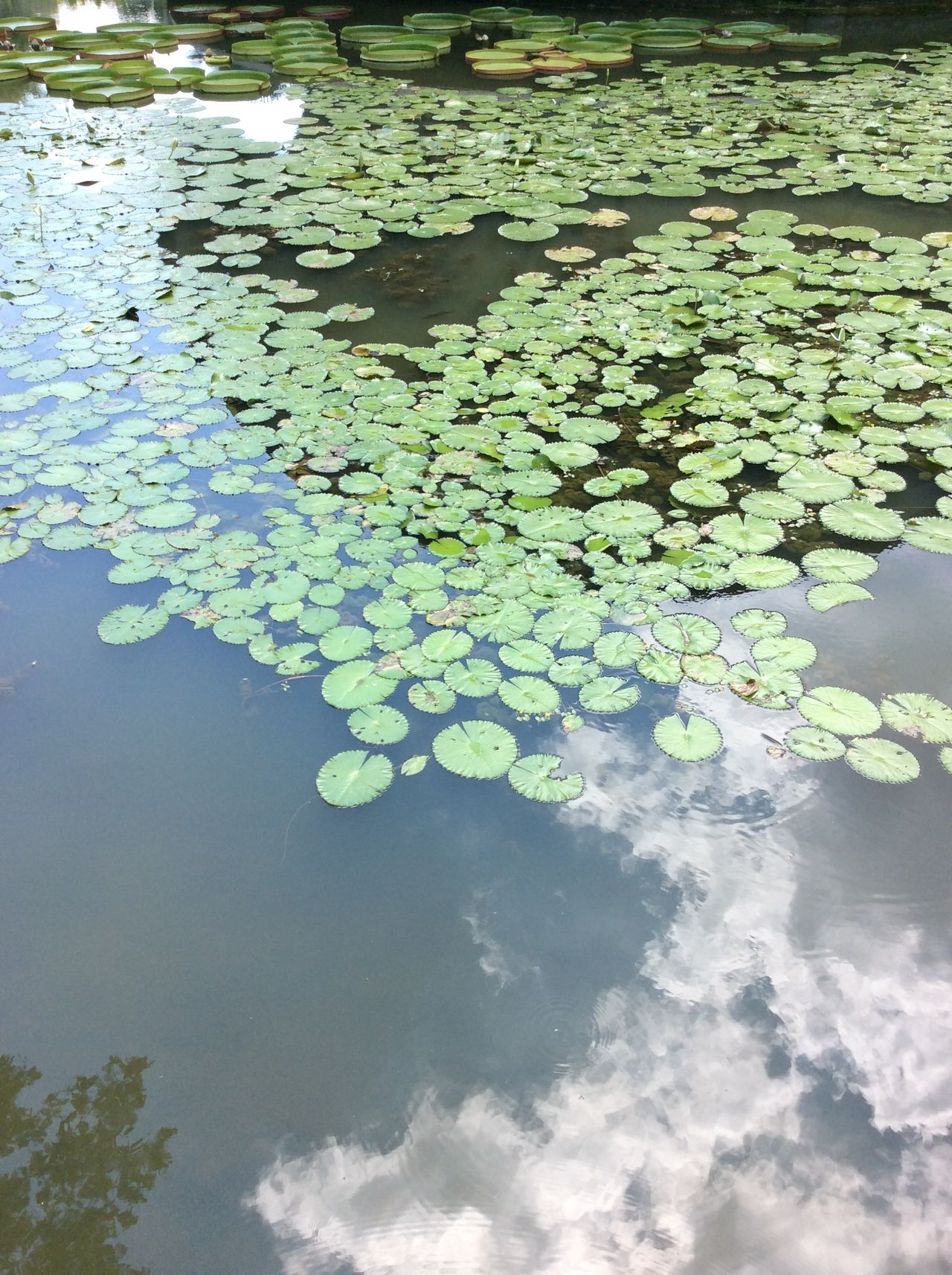Water Lilies. Lilly Pads.