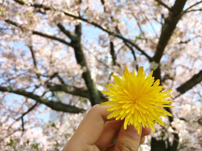 Flower Human Hand Fragility Yellow Human Body Part Freshness Blossom Petal Springtime Beauty In Nature Nature Tree One Person Flower Head Holding Close-up Day Focus On Foreground Real People Outdoors