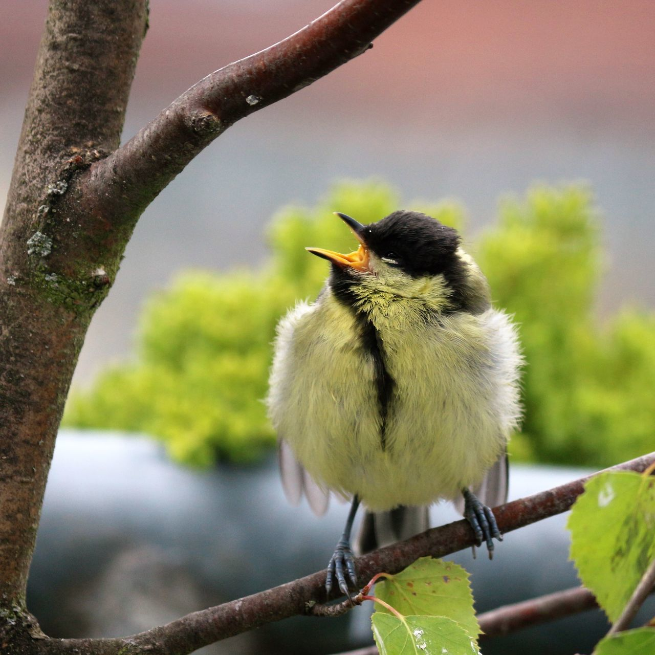 Good morning! What's going on? I'm waiting for breakfast! (Young great tit, parus major) Animal Themes Beauty In Nature Bird Bird Photography Birds Birds Of EyeEm  Birds_collection Birds_n_branches Birds🐦⛅ Birdwatching Branch Close-up EyeEm Nature Lover Good Morning Hello World Hungry Hungry Birds Ladyphotographerofthemonth Look At Me! Nature Photography Twig Wildlife Young Bird