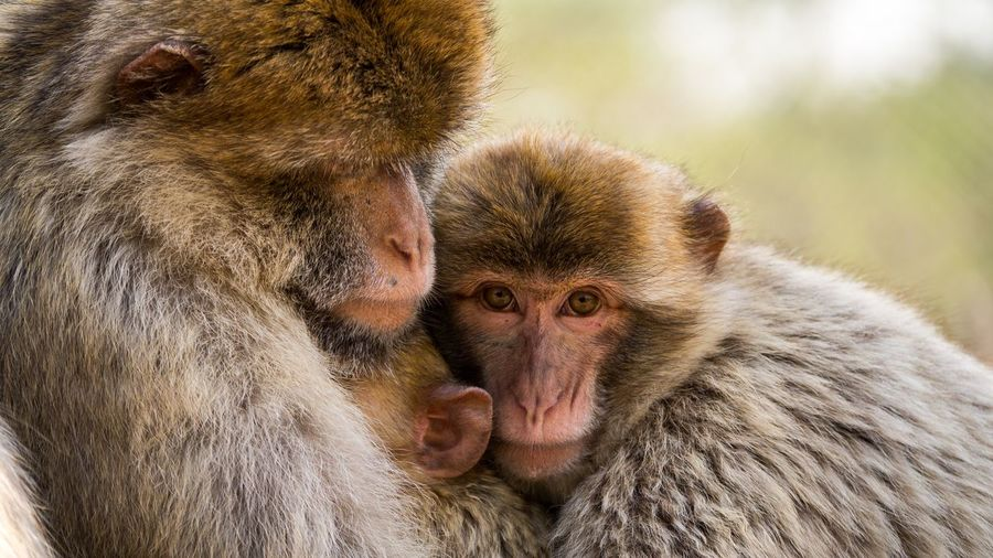 Quality time Tender Moments Tenderness Rhesus Macaque EyeEm Selects Monkey Animals In The Wild Two Animals Mammal Animal Wildlife Japanese Macaque Togetherness Animal Family Young Animal Animal Themes Outdoors Close-up Baboon Portrait Nature Friendship