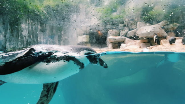 Swimming penguin Animal Nature Eyeem4photography Penguins Penguin Bird Birds Nature On Your Doorstep Nature Lover