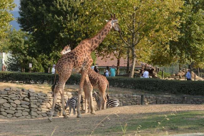 Zoo Zoo Animals  Giraffe♥ Animal Themes Nice Day Bursa Turkey