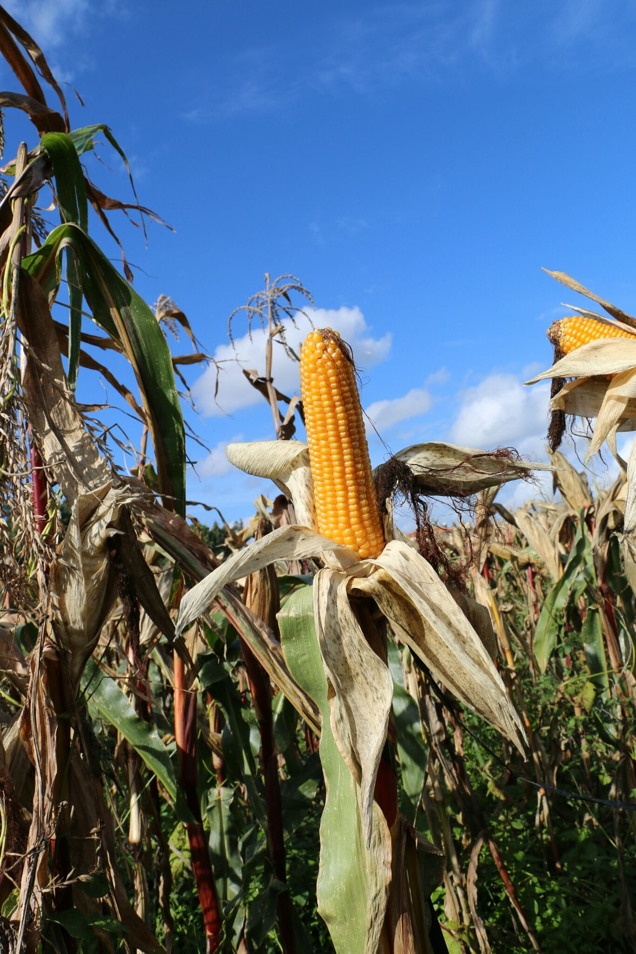 Beautiful stock photos of thanksgiving, Abundance, Agriculture, Cereal Plant, Close-up