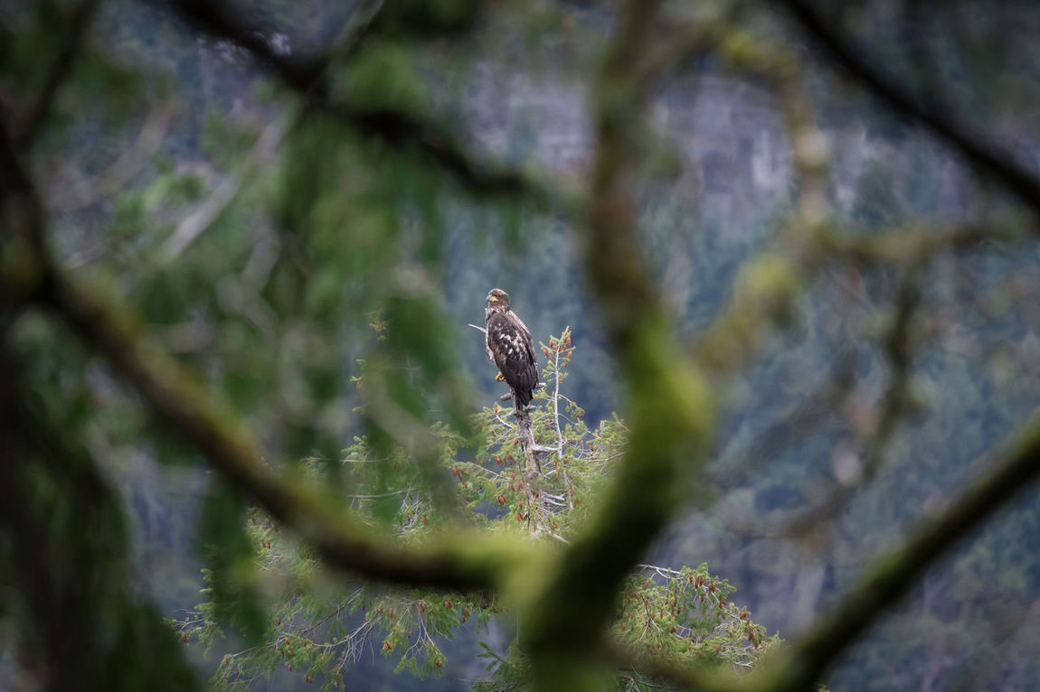 Animal Themes Animals In The Wild Bald Eagle Bird Day Eagle Eagle - Bird Eagles Great Bear Rainforest Juvenile Juvenile Bald Eagle Landscape Lichens Mountain Nature No People Outdoors Perched Rainforest Raptor Raptors Temperate Temperate Rainforest Trees Wildlife