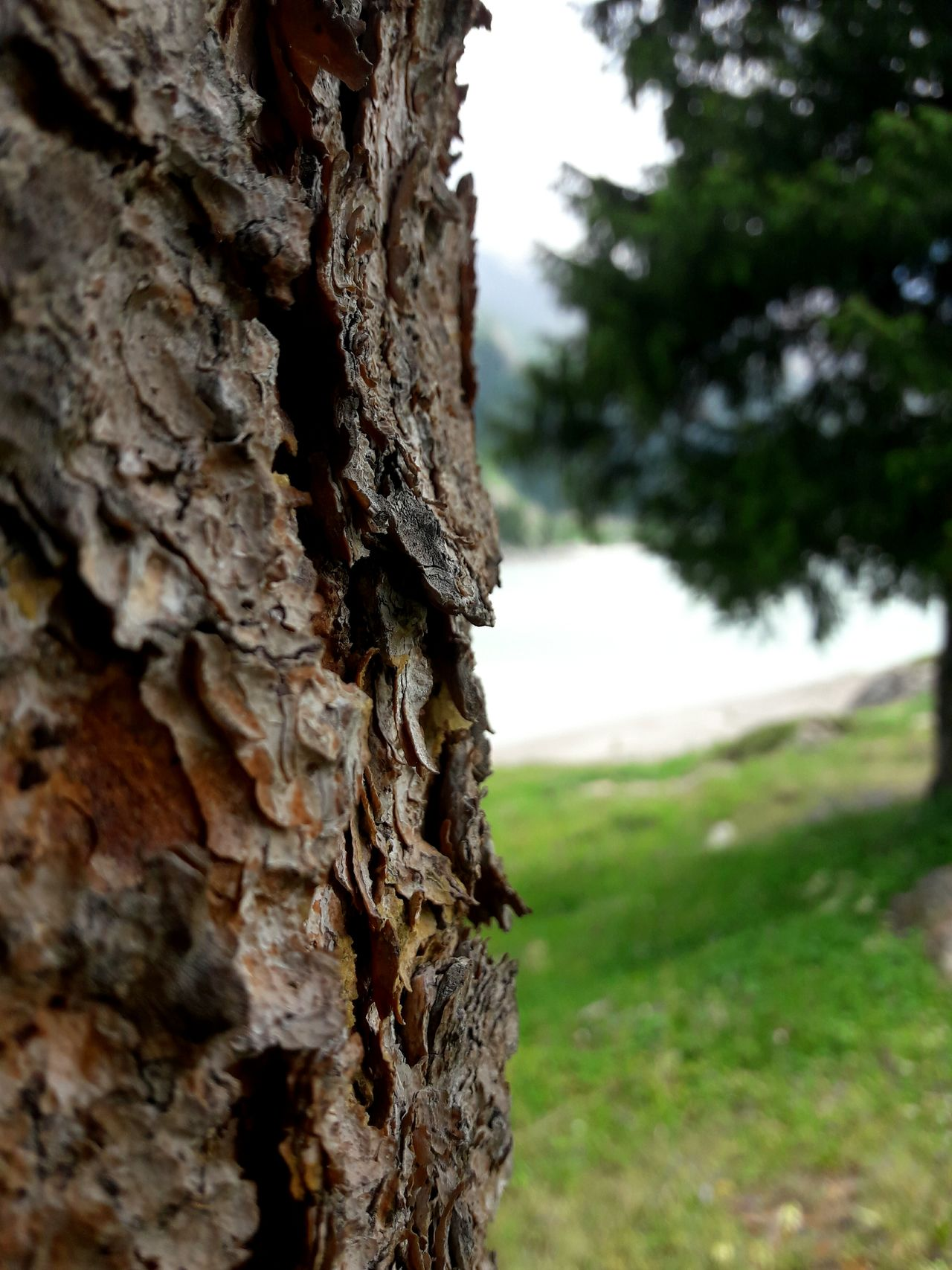 Tree Trunk Tree Nature Pinaceae Focus On Foreground Day Pine Tree Rough Textured  No People Outdoors Close-up Forest Beauty In Nature Grass Sky