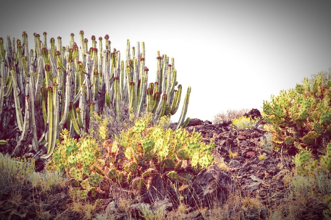 cactus plantson Tenerife montana amarilla region. canary islands. Montana Amarilla Teneriffa Tenerife Cactus Canary Islands Canary