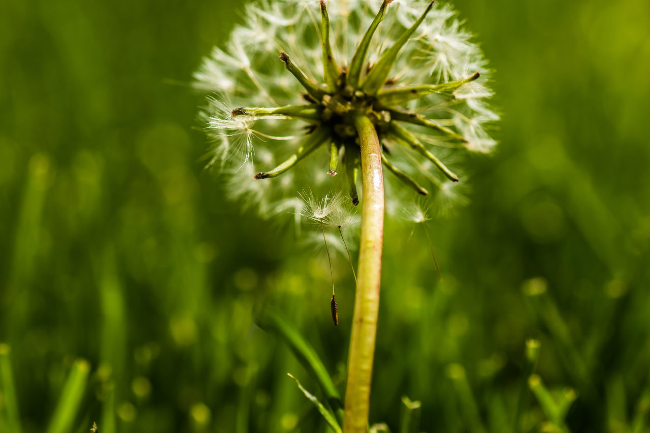 Beauty In Nature Botany Close-up Dandelion Dandelion Seeds Dandelions Day Focus On Foreground Fragility Freshness From The Back Growth Macro Macro Nature Macro Photography Nature No People Outdoors Plant Selective Focus Showcase June Softness Stem The Week On EyeEm Tranquility