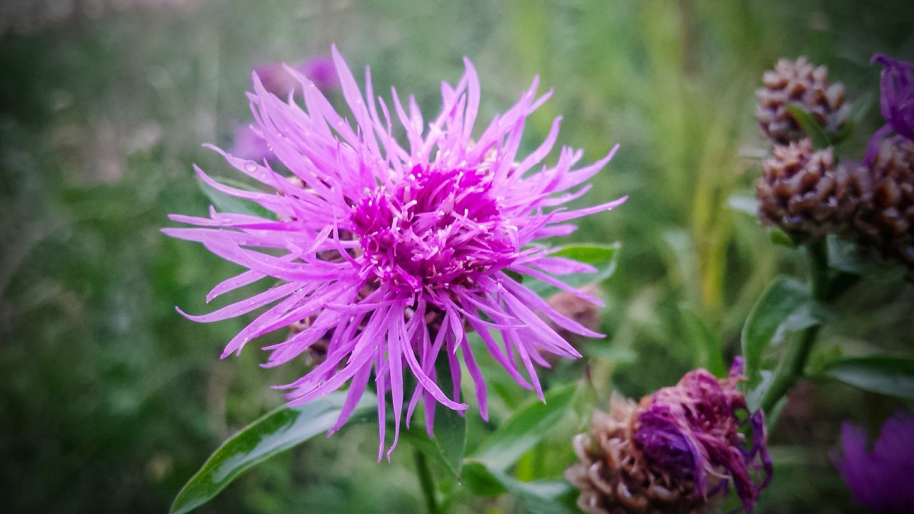 flower, growth, nature, petal, fragility, beauty in nature, flower head, purple, freshness, blooming, plant, no people, day, close-up, outdoors