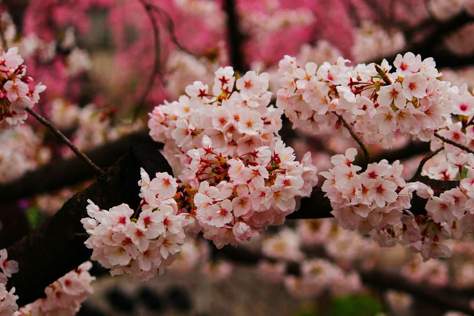 Beauty In Nature Blooming Blossom Branch Cherryblossom Close-up Flower Flower Head Focus On Foreground Freshness Growth Nature No People Outdoors Petal Pink Color Pink Flower Springtime Tree