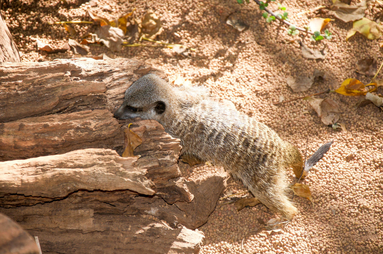 Playful meerkat at the Perth Zoo in Perth, Western Australia. Animal Animal Themes Animals In The Wild Conservation Cute Day Enclosure Furry Habitat High Angle View Isolated Mammal Manmade Meerkat Nature One Animal Outdoors Perth Zoo Play Sand Shadow Small Western Australia Wildlife Zoo