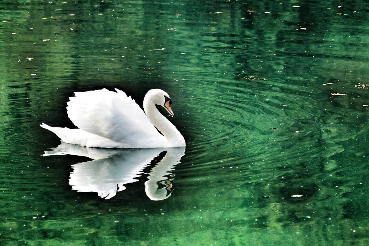 Cigno padrone Animals In The Wild Nature Beauty In Nature Water Bird Outdoors