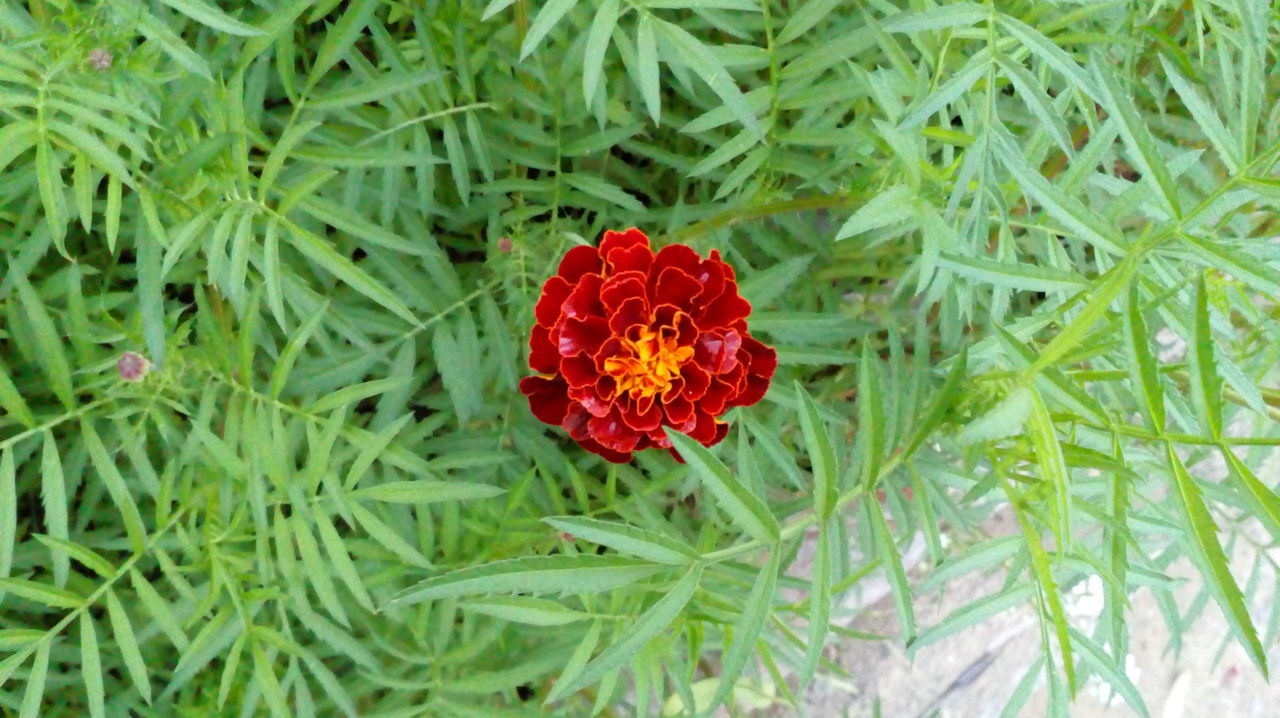 Flower Red Nature Marigold Flower Growth Blooming Green ColorFragility Outdoors Day Close-up Poppy Freshness Beauty In Nature Flower Head Petal Plant No People Leaves🌿 No Filter, No Edit, Just Photography Green Green Green!  Beautiful Nature