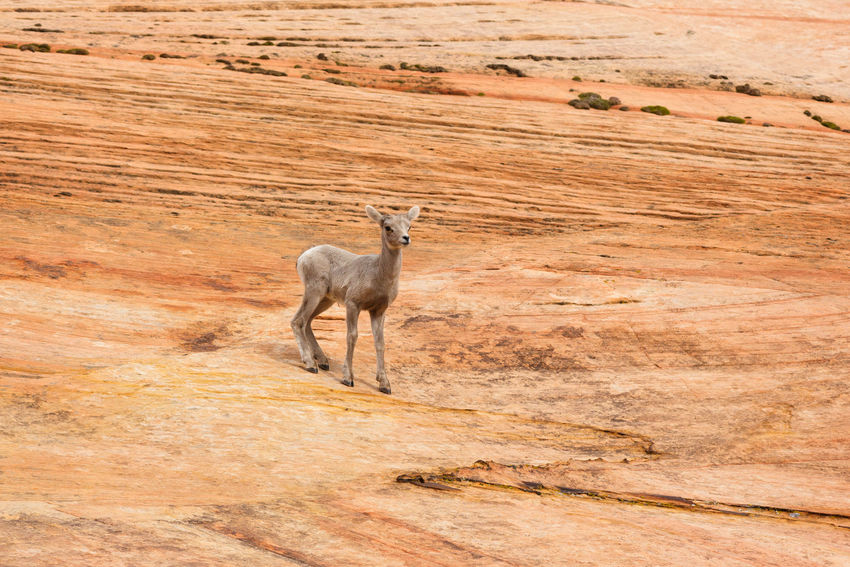 At home on the slick rock Sandstone Animals In The Wild Bighorn Lamb Lamb Bighorn Sheep Desert Bighorn Sheep No People Canyon Desert Animals In The Wild Animal Wildlife Southern Utah  Animal Themes Zion National Park Utah Southern Utah  Parks And Recreation Animal Nature Outdoors Baby Animals