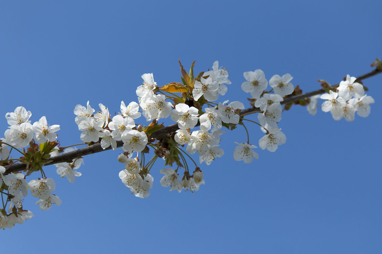 Blossom, beginning of the springtime. Beauty In Nature Blooming Blossom Blue Botany Branch Bue Sky Cherry Blossom Clear Sky Day Flower Fragility Freshness Growth In Bloom Low Angle View Nature No People Outdoors Petal Springtime Tree White White Color White Flowers