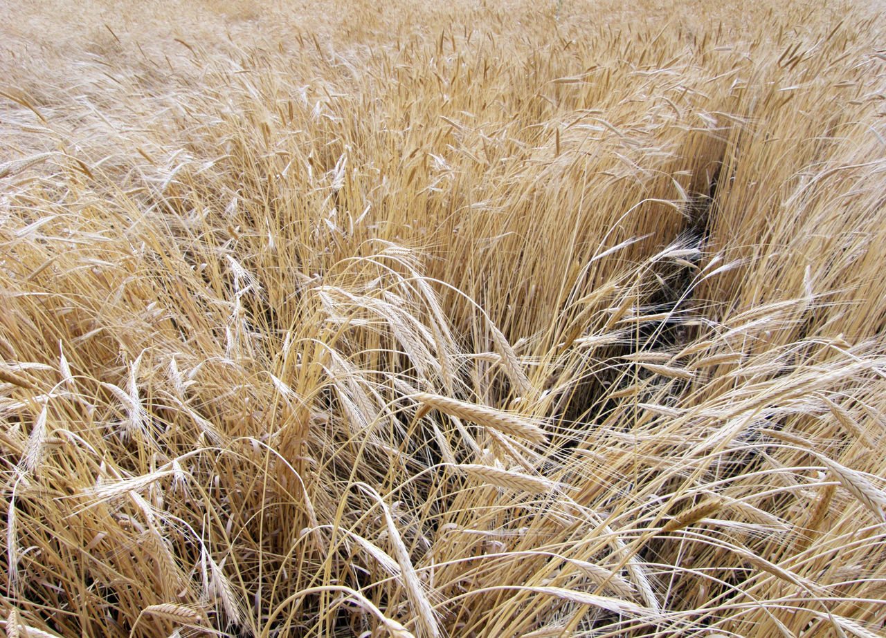 Close up on ears of wheat Agriculture Backgrounds Beauty In Nature Cereal Cereal Plant Close Up Close-up Crop  Day Ear Of Wheat Farm Field Full Frame Growth Harvest Harvesting Landscape Nature No People Outdoors Rural Scene Sunny Day Tranquility Wheat Wheat Field