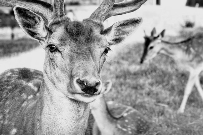 Look Into My Eyes... Looking At Camera Face Faces Of EyeEm Animal Animals Animal Themes Harem Alertness Blackandwhite Black And White Black & White Intense Portrait Portrait Photography Portraits Game Animals Whats Up Food Eyes Communication Showcase July Hidden Gems  Home Is Where The Art Is Monochrome Photography