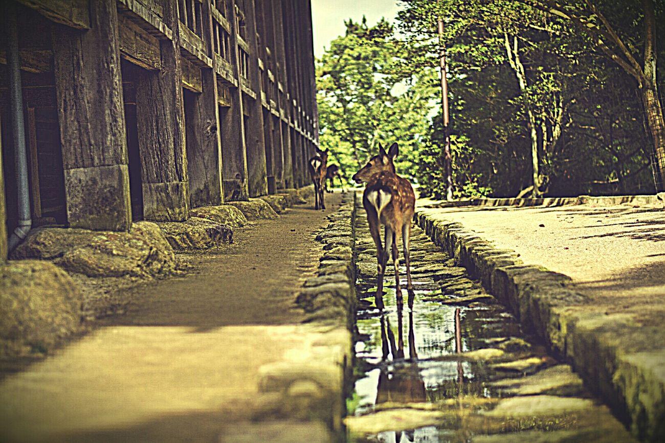 街並みシリーズ 宮島 広島 日本 鹿 Miyajima Hiroshima Japan