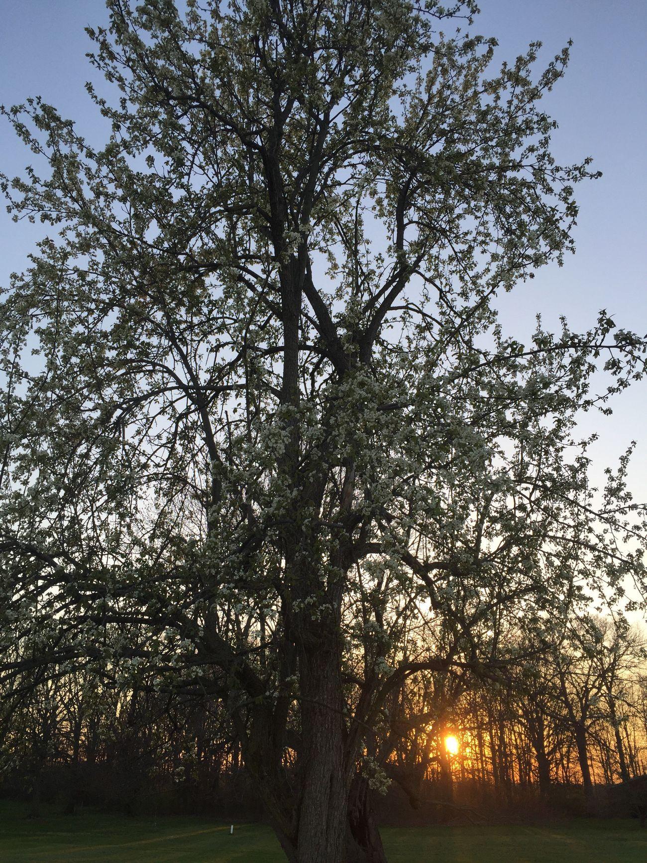 Pear tree Tree Spring Tadaa Community EyeEm Best Shots Eye Em Nature Lover Sunset Sunset Silhouettes