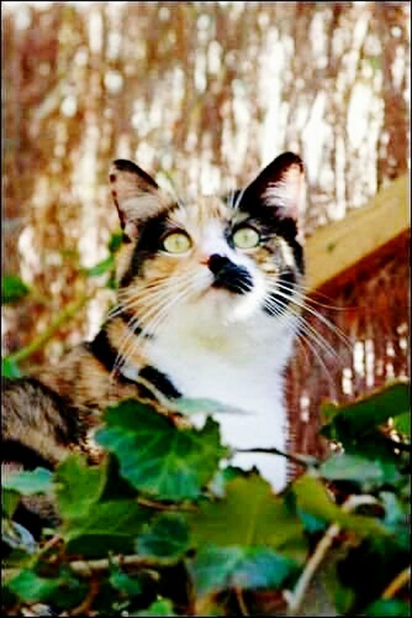 Cat Cat Lovers Catsofinstagram Catoftheday Cats 🐱 Cat Eyes Cat Watching Cat Photography Cat♡ Cats Of EyeEm Catportrait Cateyes Calico Cat Calicocat Tortoiseshell Cat Beautiful Cat Cat Nature