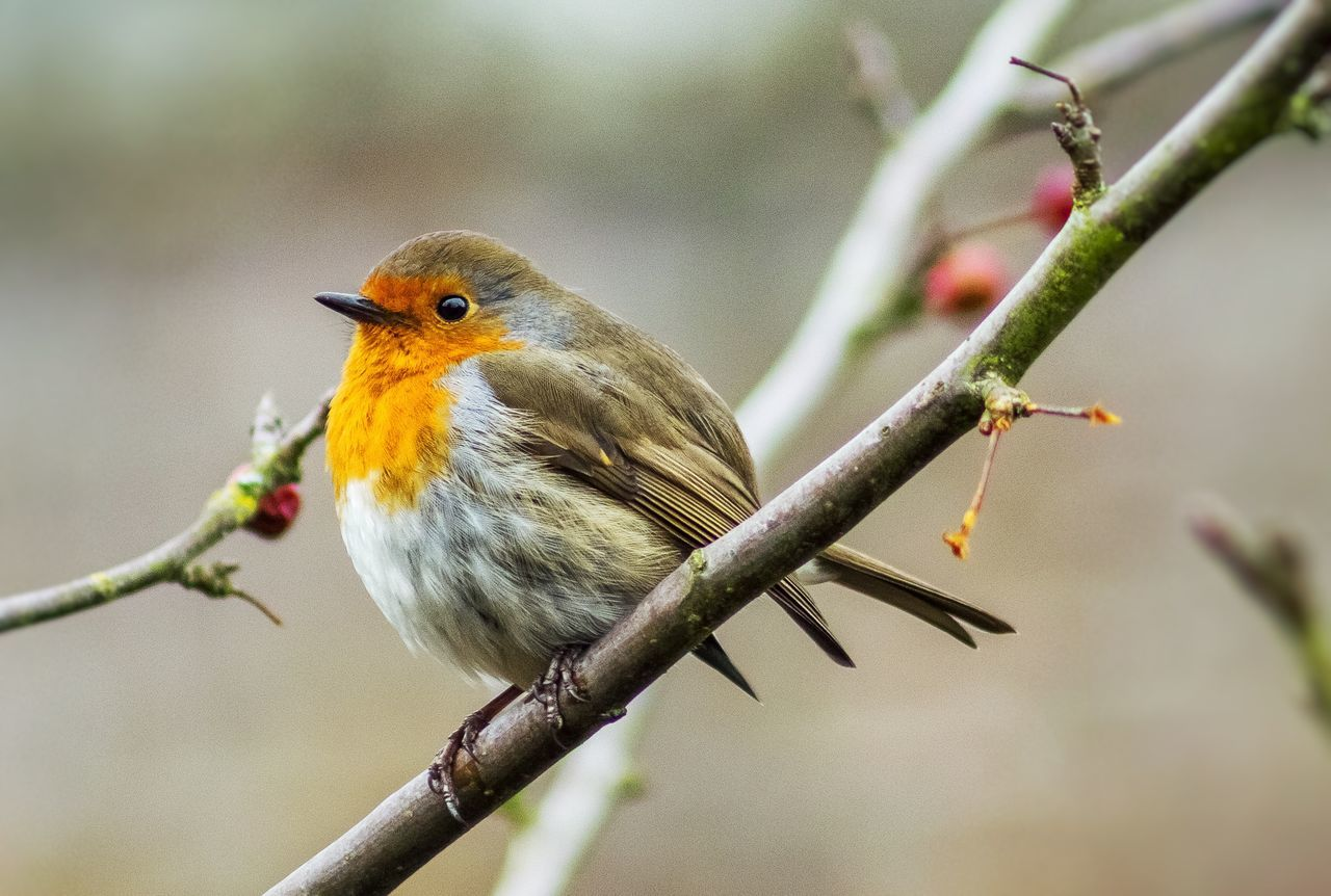 """""""Robin Redbreast"""" One Animal Animal Themes Animals In The Wild Bird Focus On Foreground Nature Animal Wildlife Perching Close-up No People Robin Outdoors Beauty In Nature Day Food Nature Photography Robin Redbreast Nature_collection Nature On Your Doorstep Beauty In Nature Winter Wintertime"""