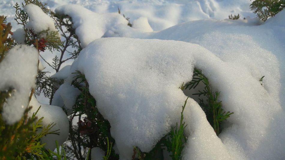 Winter Nature Snow Cold Temperature No People Outdoors Day Kara Basma Iz Olur Kar Biriken Guzellik Fance Plant Tranquility Fence çit Bitkileri Beautyful Nature Yeşil Beyaz Kış Güneşi Karda Guzeldir Smile Gulumse Gülümsemek Kalbe Iyi Gelir