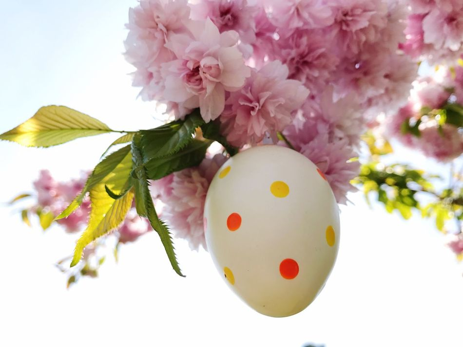 Cherry Blossoms Cherry Blossom Cherry Tree Easter Easter Egg Pink Color Fragility Easter Multi Colored Branch Nature