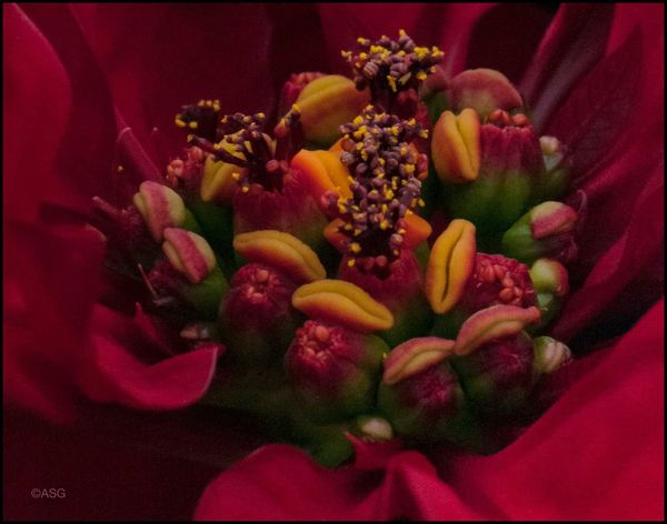 This week's contribution 12/18 - 12/21/17 Al Now! EyeEmNewHere Poinsettia Detail, Lily, Water Drops #128, Malephotographerofthemonth