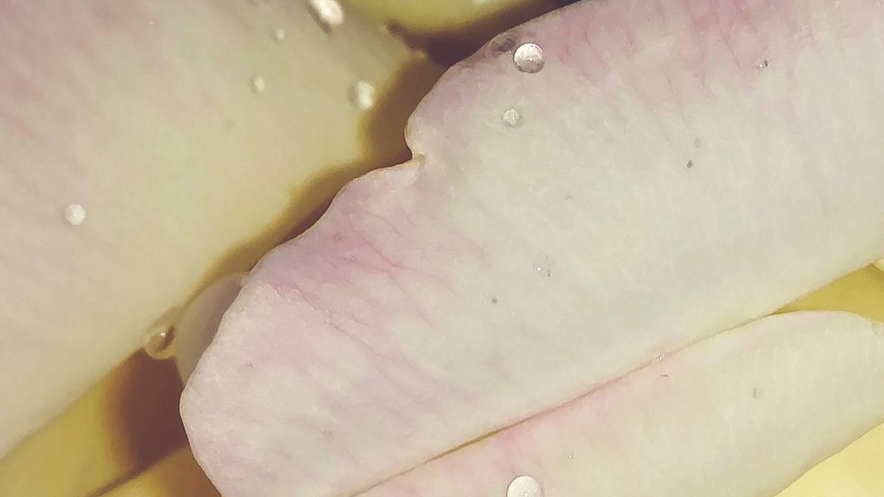 Maximum Closeness Water Drops On Petals. Rose Hips