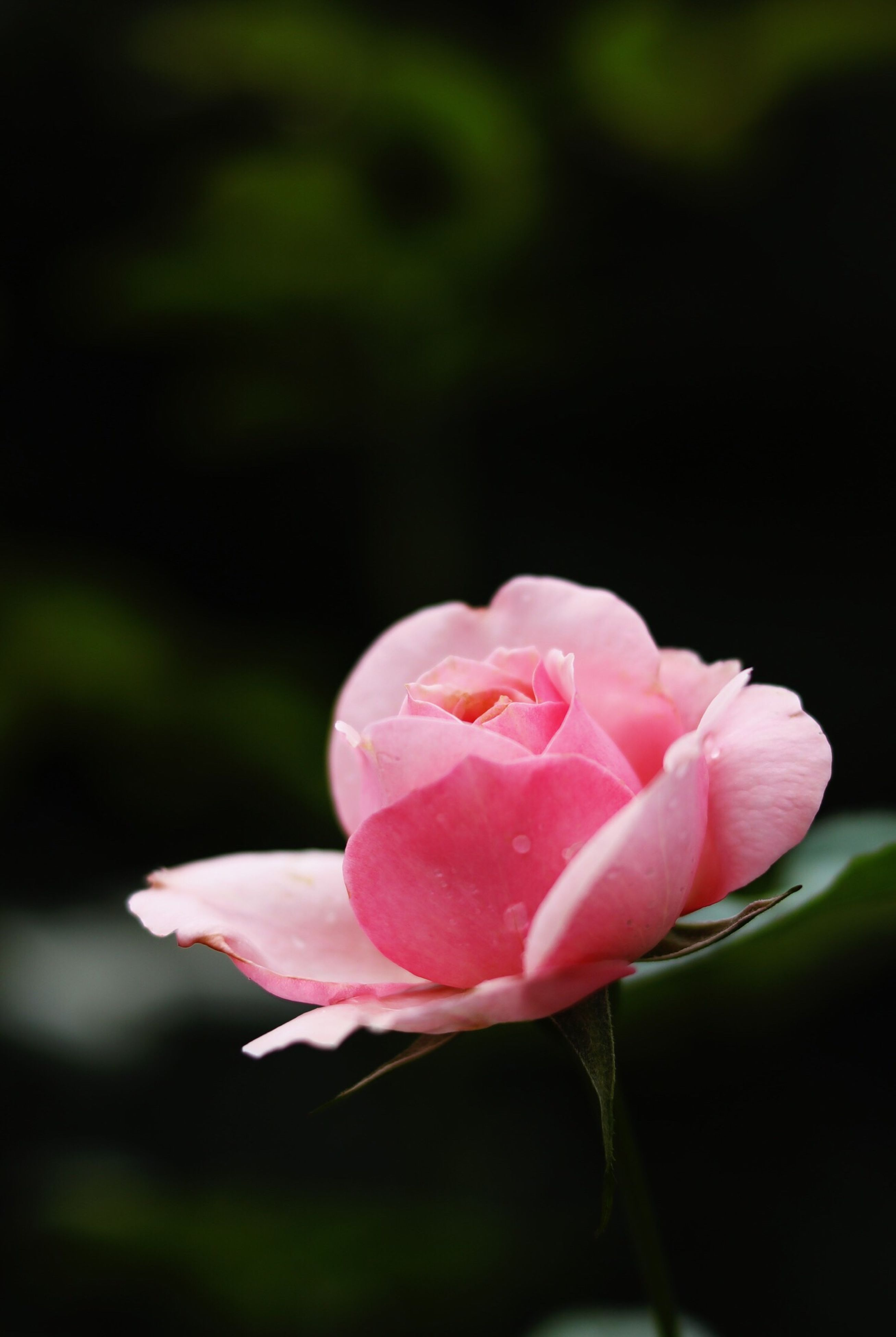 fragility, flower, freshness, petal, flower head, close-up, pink color, growth, season, beauty in nature, in bloom, springtime, nature, blossom, focus on foreground, single flower, stem, water, botany, vibrant color, softness, day, dew, outdoors, soft focus, no people, rose petals