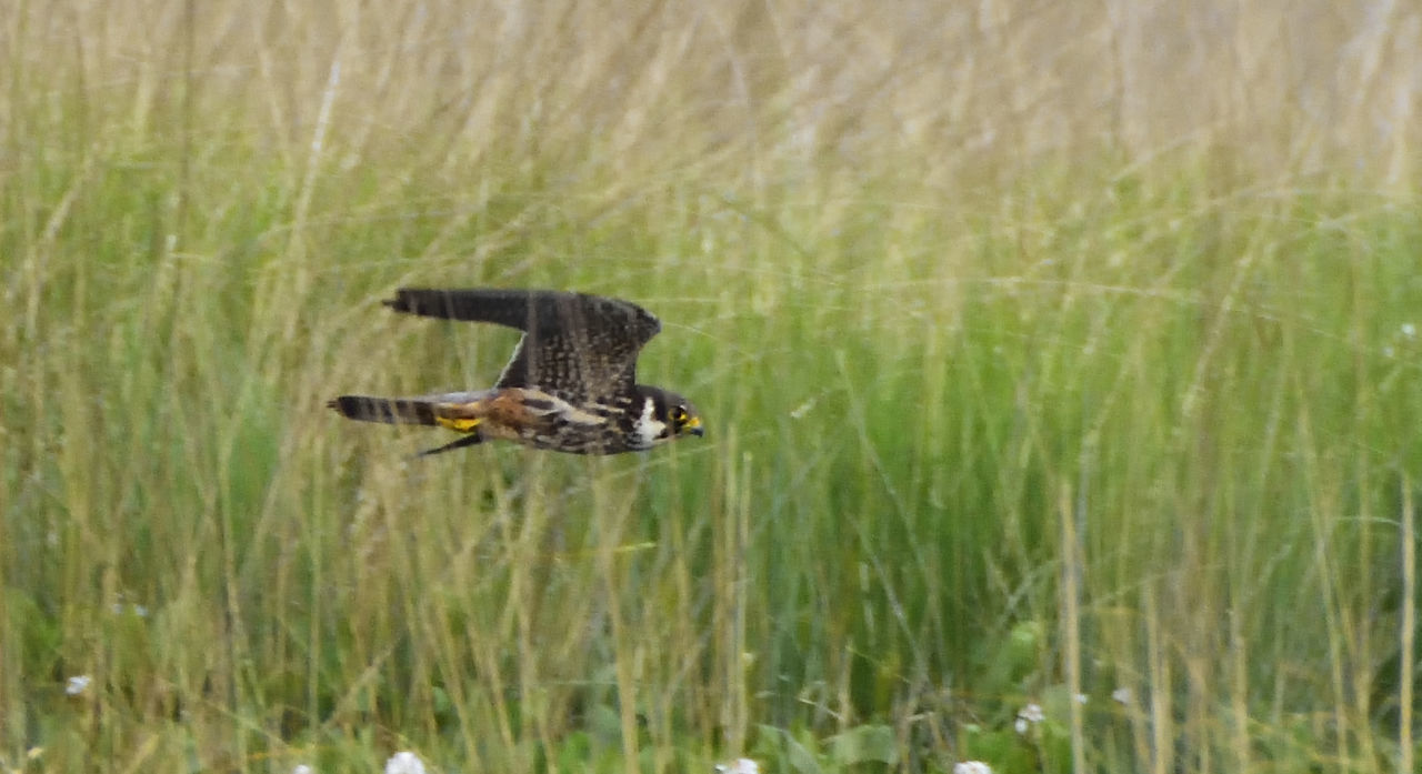 Elstead Moat - The Hobbies are performing beautifully now and the Dragonfly's just can't avoid those lightning quick strikes. Agility Apex Predator Beauty In Nature Bird Of Prey Bird Photography Birds Of EyeEm  Birds_collection Falco Subbuteo Hobby Falcon Nature Nature Photography Nature_collection Perfect Hunter Power In Nature Rspb_love_nature Speed In Nature Summer Visitor