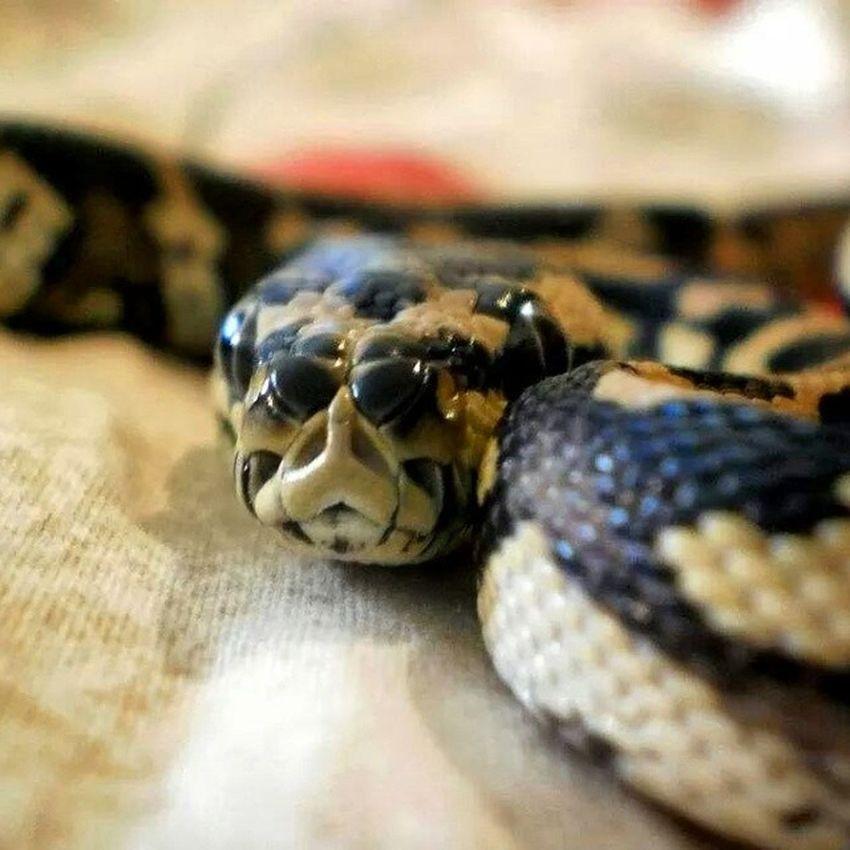 Carpetpython Pythonregius Python Moreliaspilotaharrisoni Animalworld he's kinda agressive.