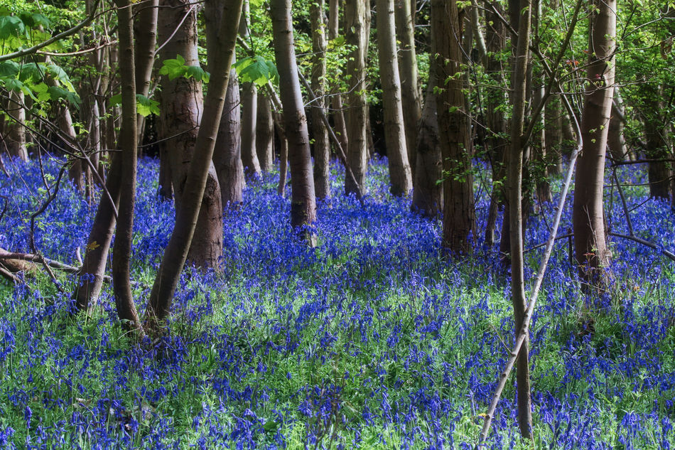 Spring Bluebells out in full bloom Beauty In Nature Branch Day Flower Forest Fragility Growth Nature No People Outdoors Plant Purple Scenics Tranquil Scene Tranquility Tree Tree Trunk