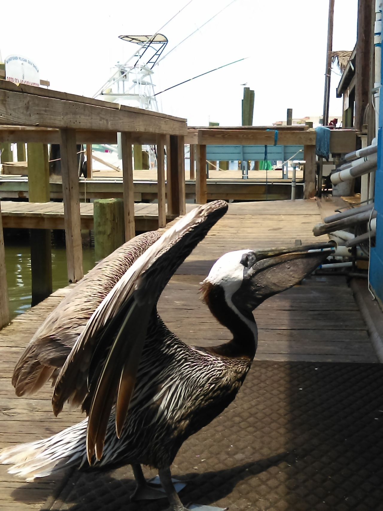 Meet Sam Brown Pelican Male Adult Island Native Gulf Of Mexico