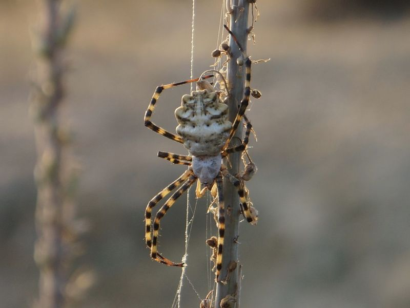 Argiope Animal Themes Animal Wildlife Animals In The Wild Argiope Lobata Beauty In Nature Close-up Day Focus On Foreground Nature No People One Animal Outdoors Spider Spider Web