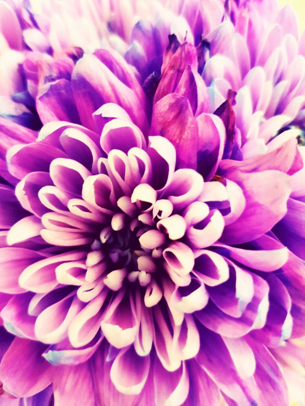 Flower Fragility Petal Beauty In Nature Full Frame Close-up Flower Head Freshness Nature Backgrounds No People Outdoors Day Chrysanthemum Purple Purple Flower Pink-purple Flowering Branches Petals Purple Petals Nature