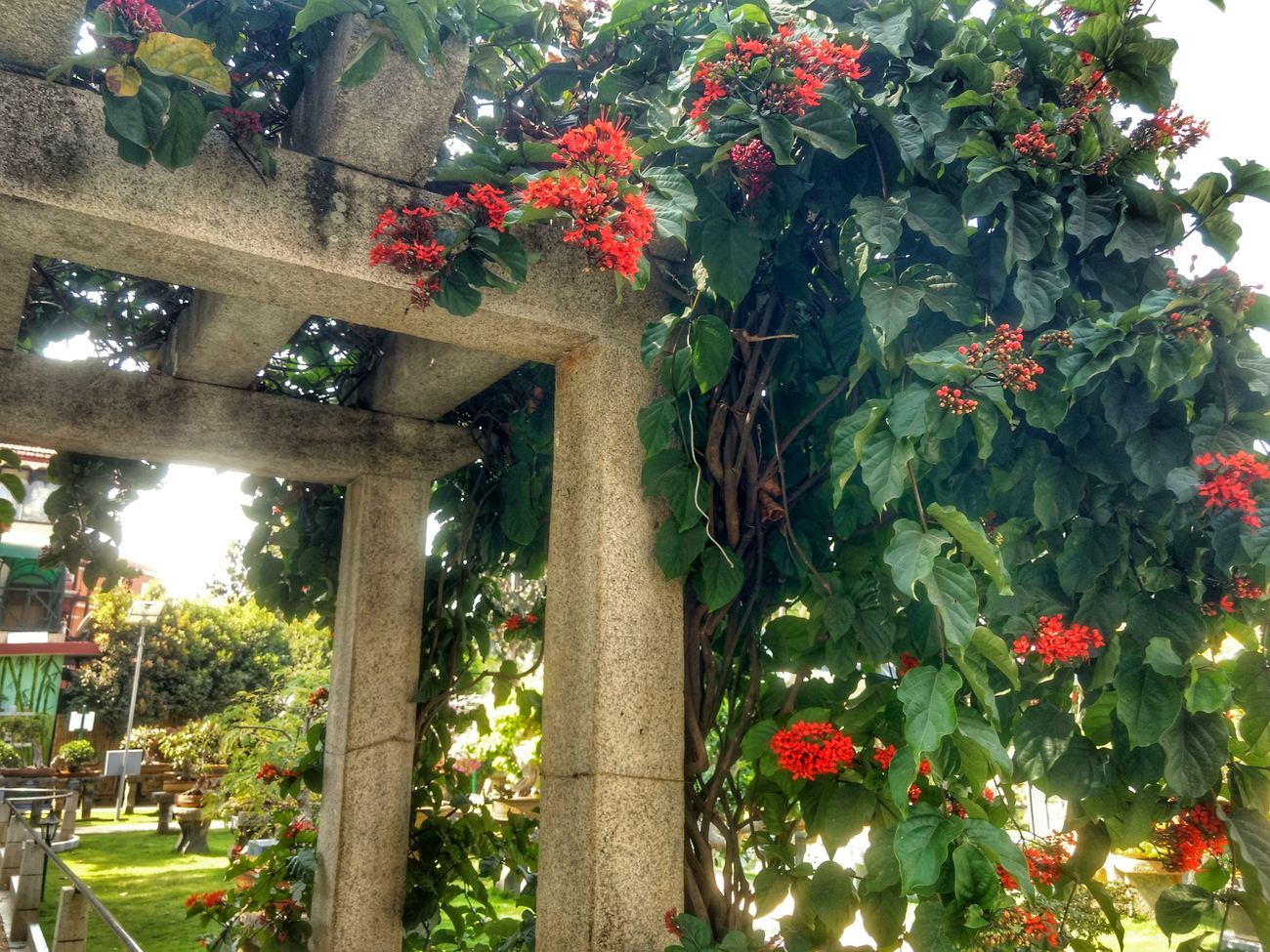 Long time. No post. Tree No People Growth Branch Outdoors Nature Landscape Green Beauty In Nature Flower Garden Blooming Red Pergola Gardens Creepers