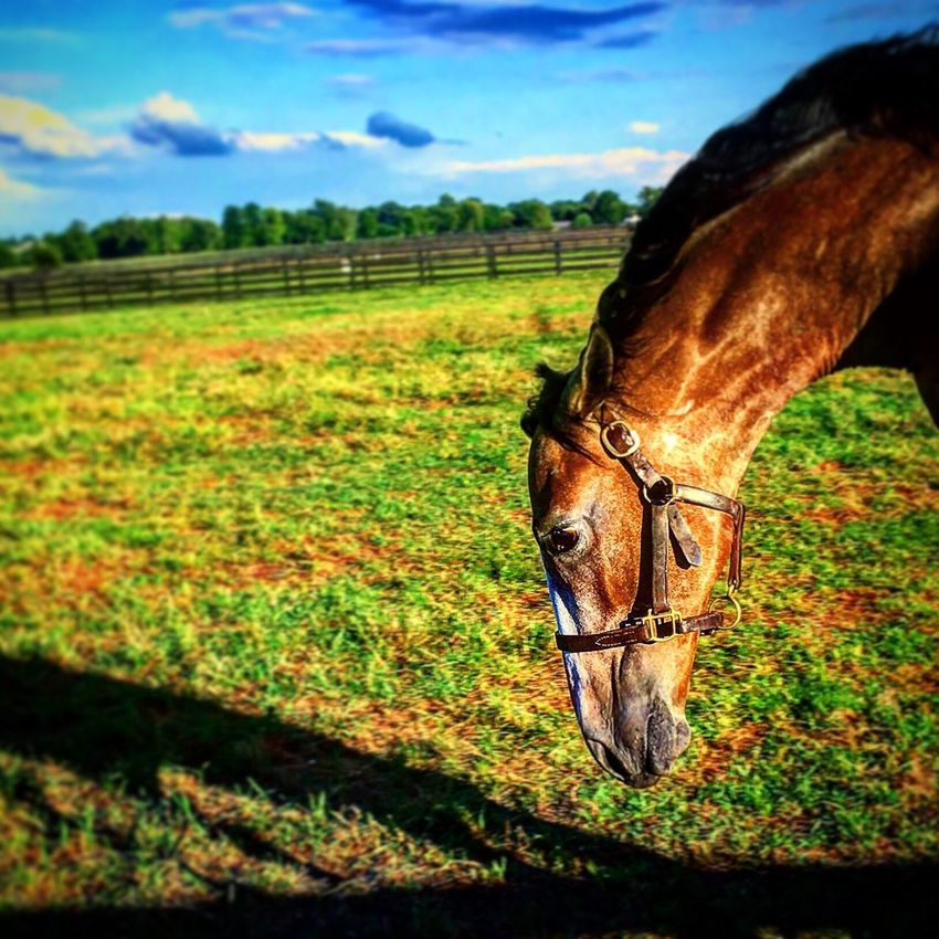 Horse Domestic Animals Animal Themes Field Mammal Livestock Landscape Grass Rural Scene Animal Body Part Farm Animal Head  Sky Agriculture Meadow Grassy Herbivorous Pasture Green Color Nature KY
