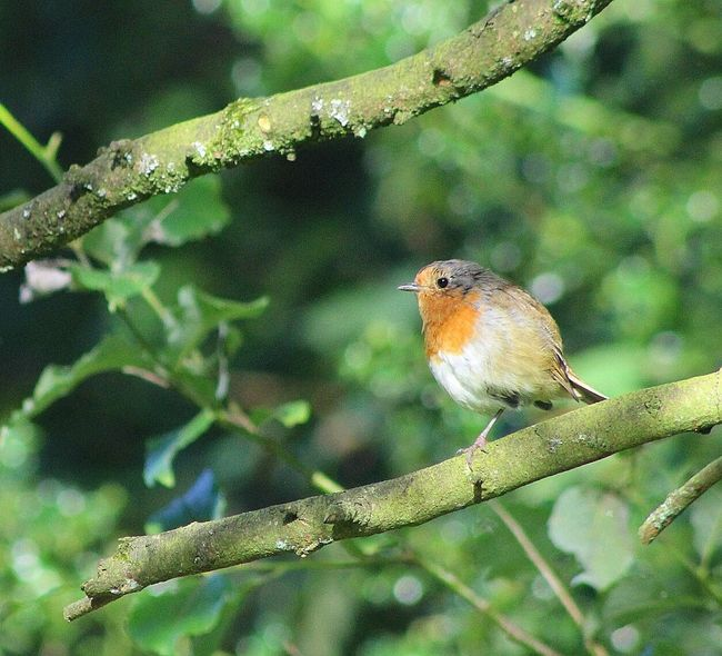 Robin Redbreast Relaxing Enjoying Life Magical Trees Forest Colours Singing Robin This Morning Summer Morning Hanging Out
