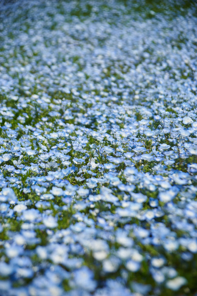 Beauty In Nature Blue Blue Flower Blue Sky Close-up Growth Nature Nature Nature_collection Nemophila No People Outdoors Plant
