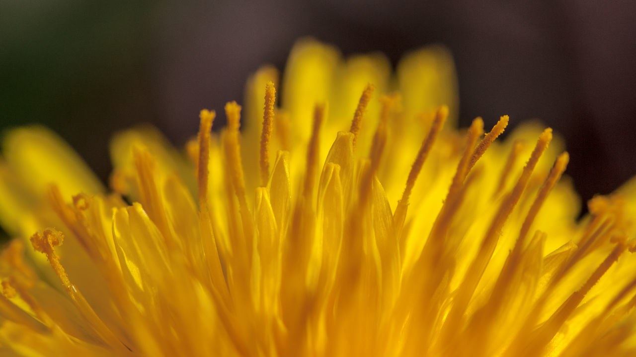 Beauty In Nature Beauty In Nature Blooming Close-up Dandelion Day Flower Flower Head Focus On Foreground Fragility Freshness Growth Macro Nature Nature No People Outdoors Petal Petals Plant Yellow Yellow Flower