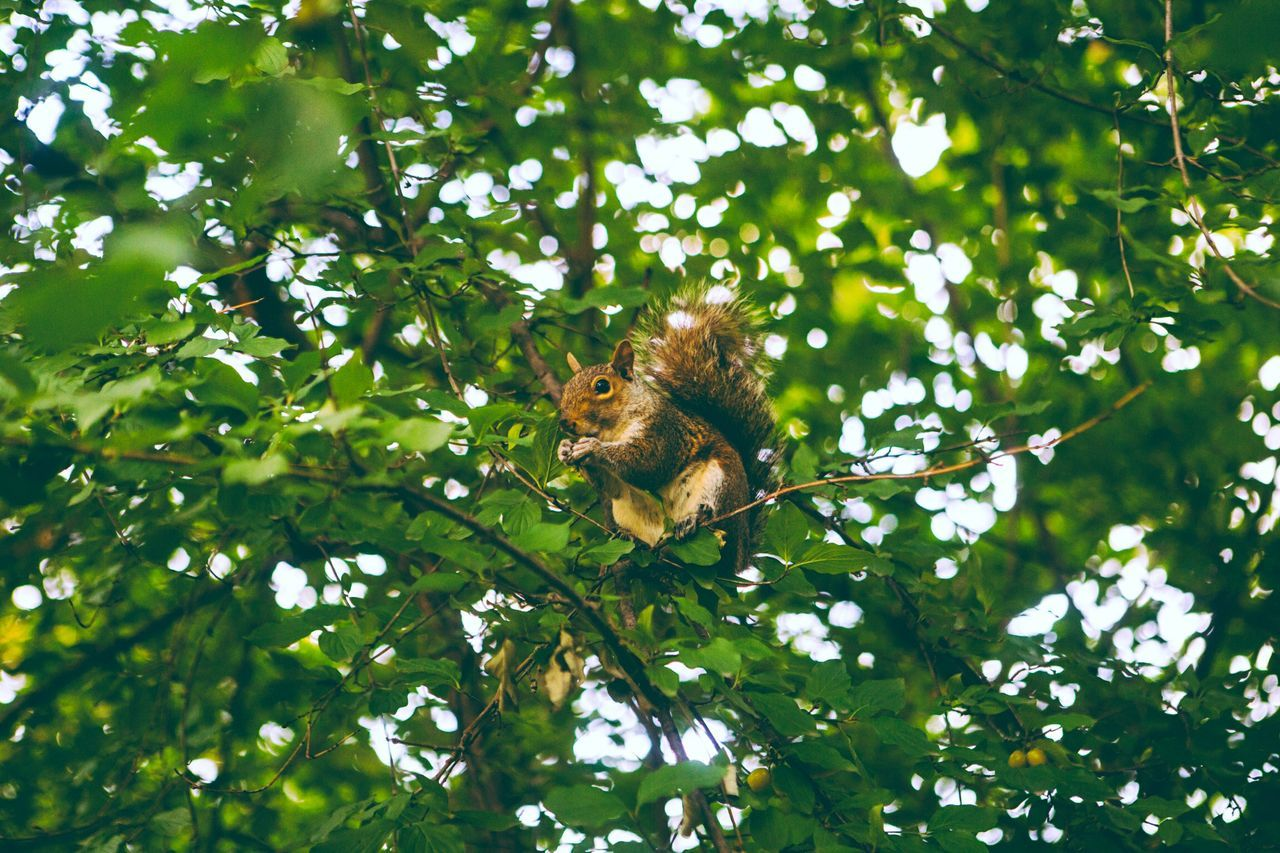 Beautiful stock photos of squirrel, Animal Themes, Animal Wildlife, Animals In The Wild, Branch